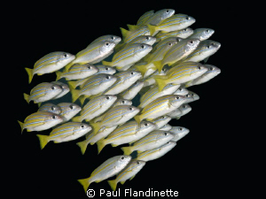 Bluestripe snapper by Paul Flandinette 